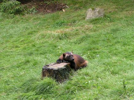 Young wolverine emerges from a stump