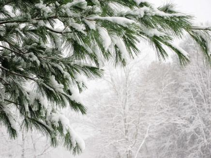 Pine branches in snow